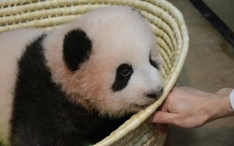 Pisike panda sai nimeks Xiang Xiang
