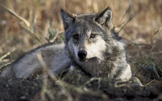 Teadaolevalt oli hunt esimene loom, kelle inimene kodustas.
