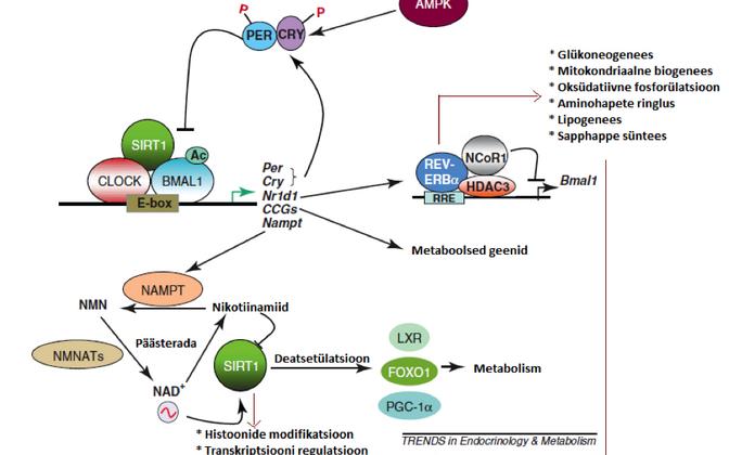 Tsirkadiaanse kella ja metabolismi regulaatorite vastastikkune mõju. CLOCK ja BMAL1 seonduvad tsentraalsete kellageenide poolt kontrollitavate geenide (CCG) promootoralas olevale E-elemendile ja reguleerivad seeläbi tsirkadiaanset geeniekspressiooni. Mõne
