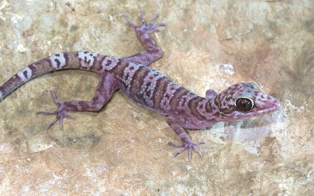 Perekonda Cyrtodactylus kuuluv geko.