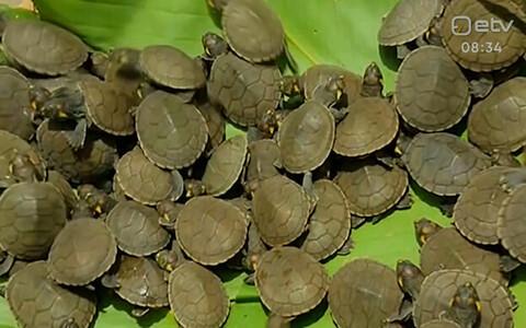 Peruu Amazonase piirkonnas lasti loodusesse tuhandeid Taricaya kilpkonni, et ära hoida liigi väljasuremist.