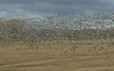 Птицы каждую весну досаждают фермерам.