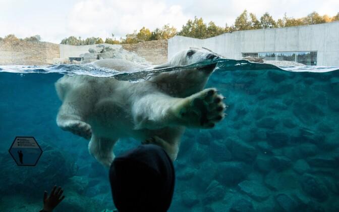 Jääkarupoeg Aron ja ema Frida ujumas