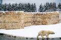 Jääkarud lumes. Tallinna Zoo.