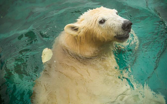 Белые медведи в Таллиннском зоопарке встречают зиму