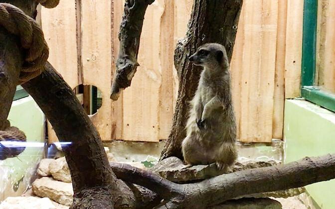 Nimetu surikaat