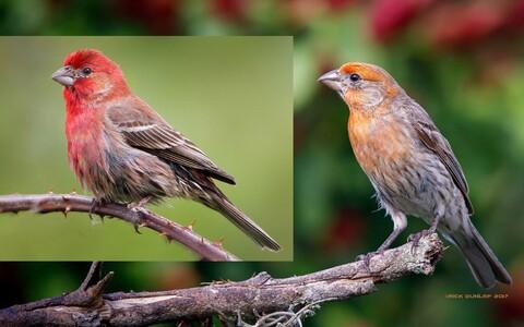 Isaste aed-karmiinleevikeste värvus varieerub erkpunasest oranžini.