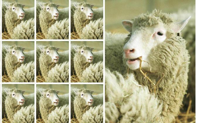 Dollyt ei kimbutanud tervisehädad sagedamini kui loomulikul teel ilmale tulnud lambaid.