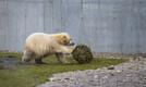 Jääkarude sünnipäev. Tallinna Zoo.
