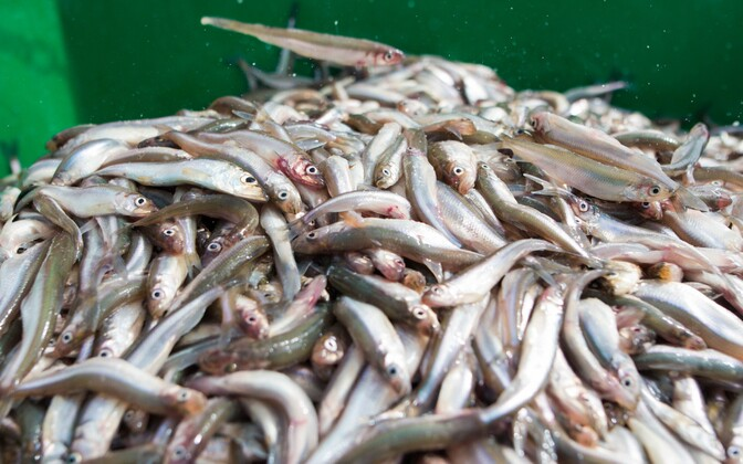 For more than ten years catching smelt was forbidden. According to the most recent agreement on quotas with Russia, fishermen can now catch it again