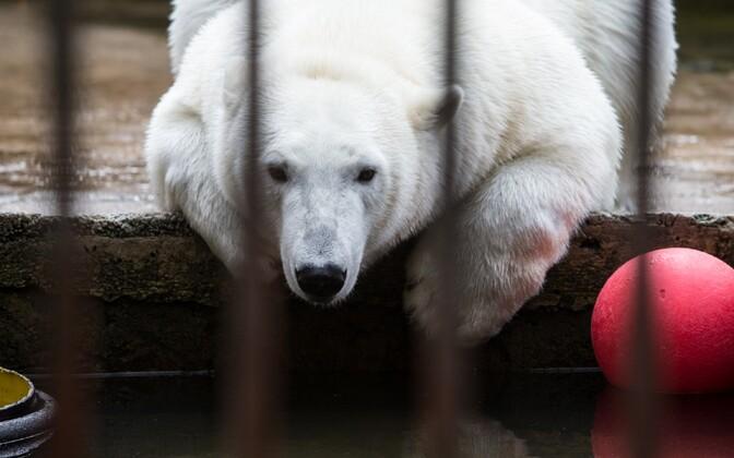 Tallinna loomaaia jääkaru
