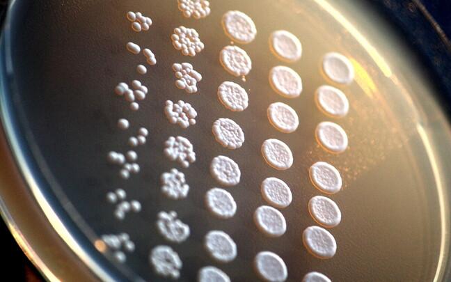Nii saia kui õlle tegemisel kasutatakse mikroskoopilist pärmseent Saccharomyces cerevisiae.