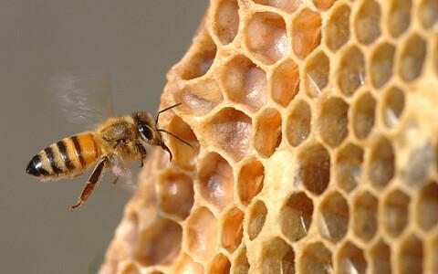 Üks teatav piimhappebakteriliik aitab mesilasel omastada õietolmus leiduvaid taimeaineid ehk flavonoide.