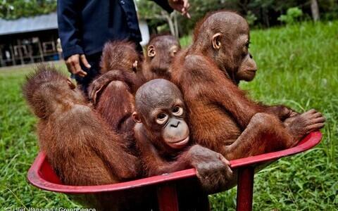 Orangutani beebid Indoneesias spetsiaalses hoolekodus, kuhu nad on sattunud elupaikade hävimise tagajärjel. Indoneesias asuvad õlipalmikasvandused on peamiseks põhjuseks sealsete vihmametsade raiumisel ning selle tulemusena kaotavad suured inimahvid enda