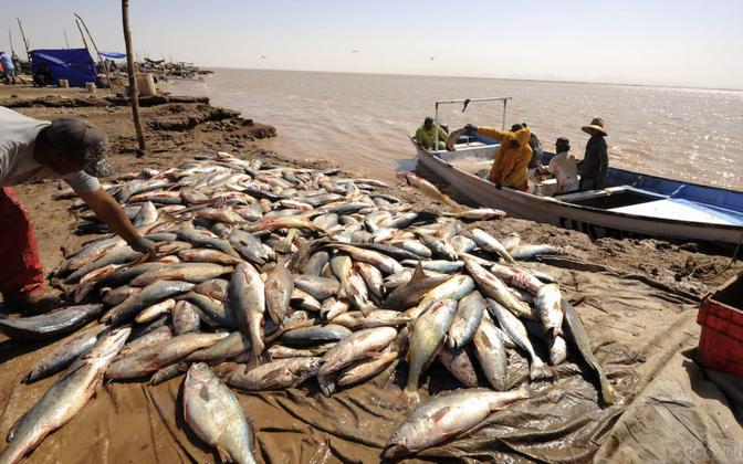 Lärmavad kalad kujutavad kalameestele kerget saaklooma.