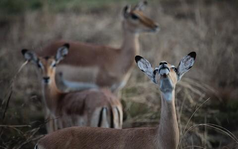 Impalad Mosambiigis Gorongosa rahvuspargis.