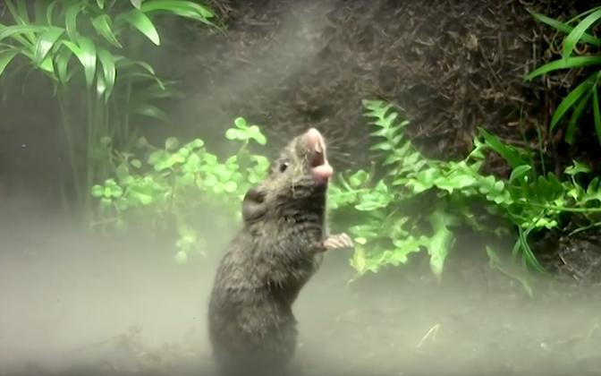 Laulvad hiired ei ole vaid multifilmi teemaks.