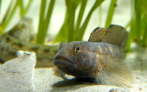 Ümarmudil Taanis Helsingori akvaariumikeskuses.