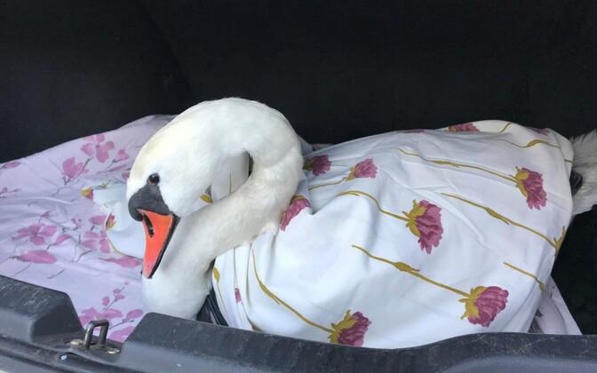 Спасатели помогли выбраться попавшему в беду лебедю.