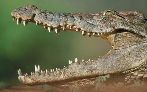 Niiluse krokodill, arhiivifoto.