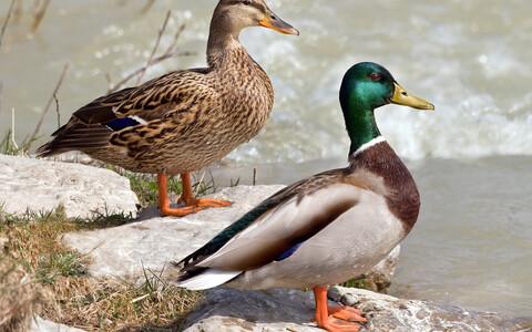 Emane (vasakul) ja isane sinikael-part.