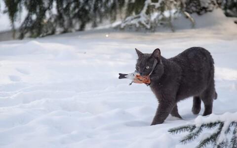 Kas leevikestest toituvad kassid on osa linnaökosüsteemi toiduahelatest?