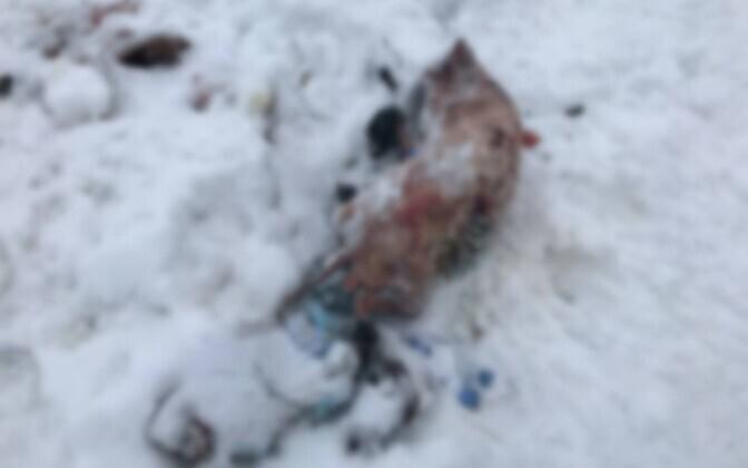 Трупы животных, найденных в Кохтла-Ярве.