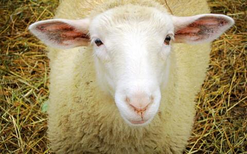 Inimeste organid võivad kasvada tulevikus lammastes.