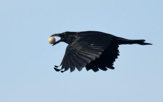 Vareslased, teiste seas ka ronk, on sagedased maapinnal pesitsevate lindude pesarüüstajad.