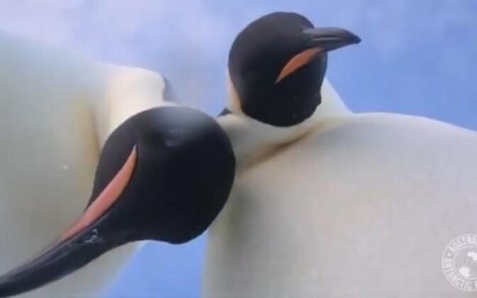 Keiserpingviinid