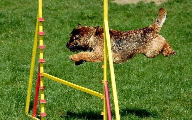 Аджилити - Это вид кинологического спорта, в котором человек направляет собаку через полосу препятствий.