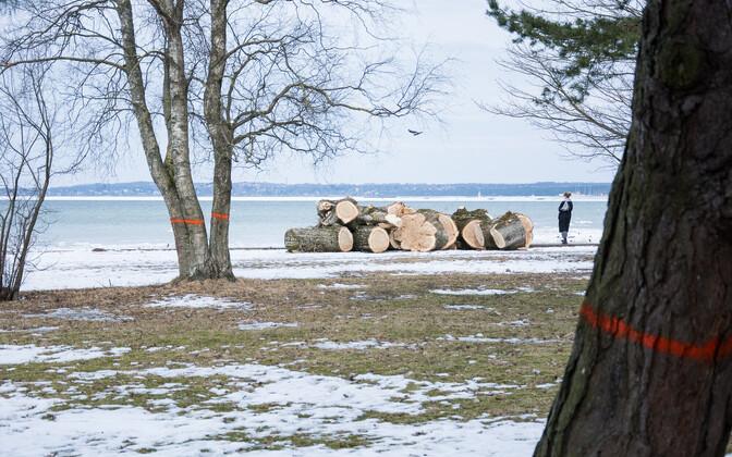 puude lanetamine Reidi tee ehituse eel