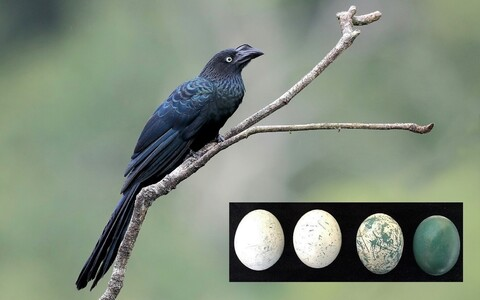 Suur-ühiskäo munade värvus muutub haudumise käigus. Vasakul on värske muna, keskmised on osaliselt hautud munad, parempoolselt munalt on vateriidi kiht eemaldatud.