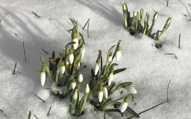 Snowdrops poking through recent snowfall in Estonia.