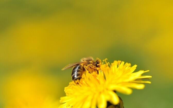 Mesilane tegutsemas.
