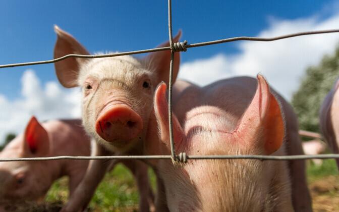 Kõige suurem oli uuritud toiduainetest sealiha tootmisega seonduv keskkonnakulu.