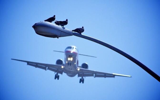 Kodutuvid on linnades sagedased, kuid lennukite ette ei satu nad väga sageli.
