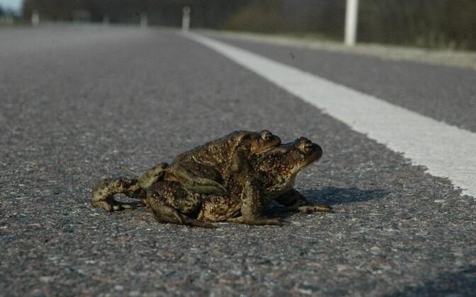 Миграция лягушек и жаб обычно начинается в апреле