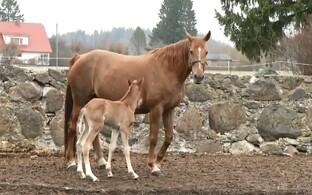 6f6fa47771b Tori hobusekasvanduses on sel kevadel sündinud juba kaks varssa