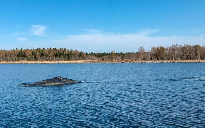 Soomes kalavõrgust päästetud küürvaal.