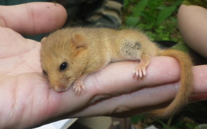 Pähklinäpp (Muscardinus avellanarius) on üks haruldasemja vähetuntumEesti metsloom.