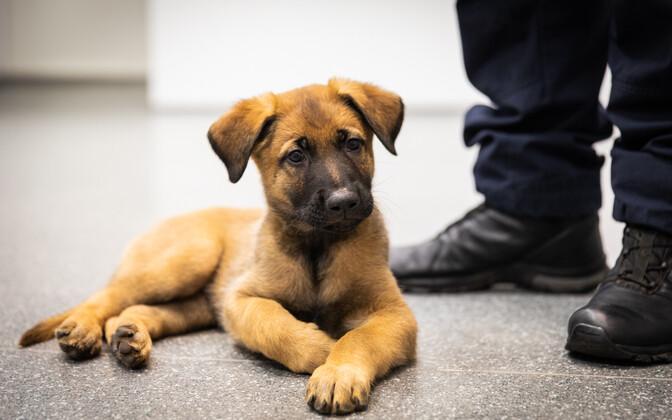 На фото: служебная собака Пыхьяской префектуры полиции Эстонии.