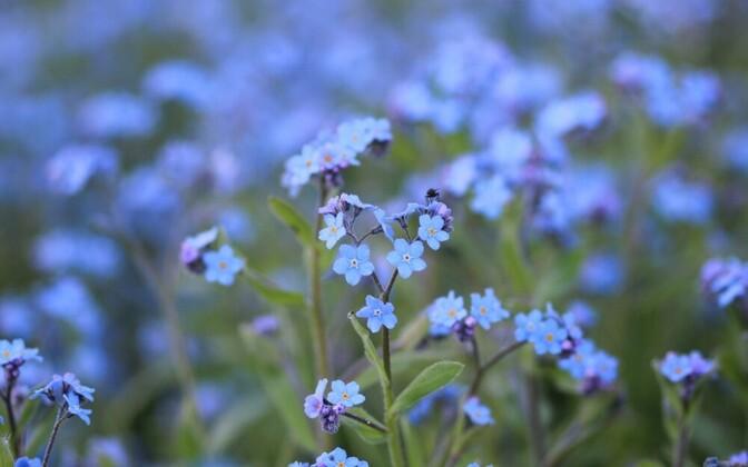 Kevadlilled