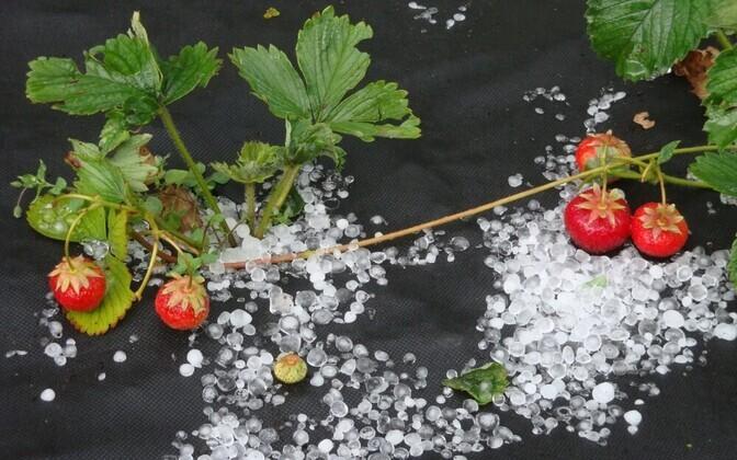 Raheterad ja maasikad