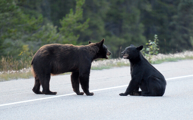Karud Kanadas Albertas.