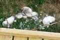 Убитые лебедята в Пальяссааре.