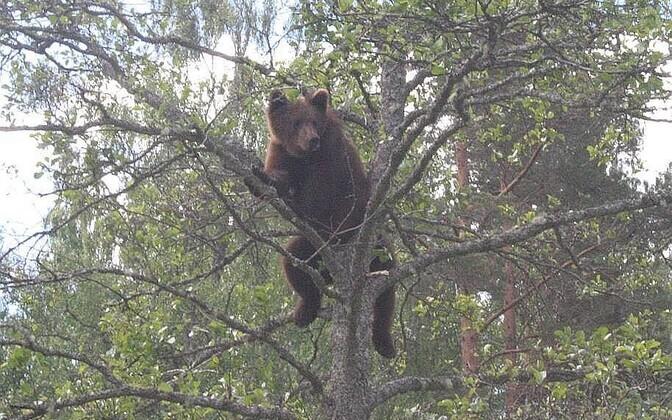 Ночью выкорчевал пень с муравейником, а днем забрался на дерево.