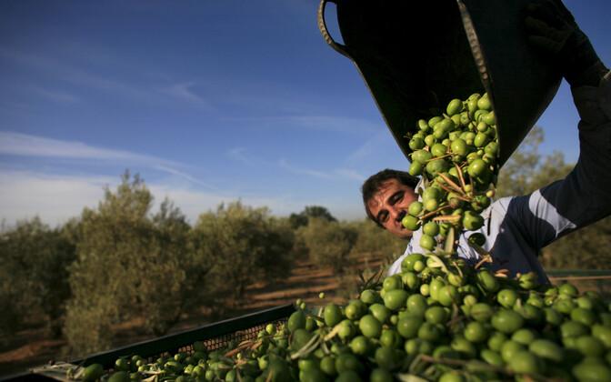 Oliivid Sevilla lähistel.