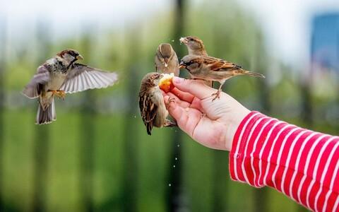 Vahetu kontakt lindudega suurendab oluliselt linlaste üldist heaolutunnet, kuid lindudele peaks pakkuma looduslähedast toitu, mitte saia.
