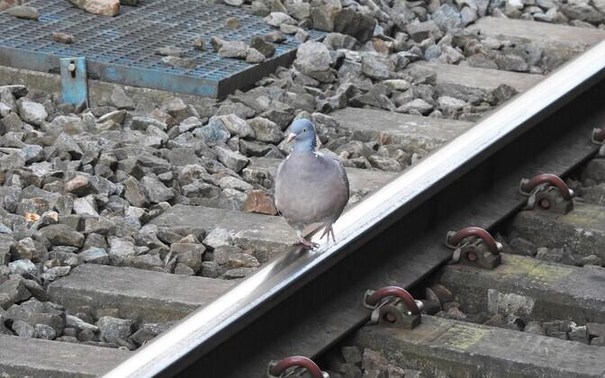 Üks kõige sagedamini raudteel nähtud liik oli kaelustuvi.